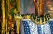 """""""Sởn da gà"""" ngôi đền rắn độc bò ngang nhiên trên đầu du khách"""