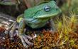 Loài nhái có chiếc túi đặc biệt mới được phát hiện tại rừng Amazon
