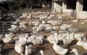 Sự thật ít người biết về con cà sáy đặc sản Quảng Ninh