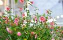 Khám phá hoa cẩm quỳ thân gỗ, hoa lạ chưng tết Kỷ Hợi