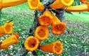 Kỳ lạ cây có hoa mọc từ thân, có thể nấu ăn ở VN