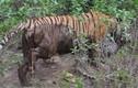 Kết quả không ngờ cuộc đụng độ hiếm giữa hổ và báo đốm