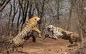 Hai mẹ con hổ tương tàn vì... tranh chấp lãnh thổ
