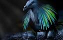 """Những loài bồ câu ăn diện, chuẩn """"fashionista"""" trong giới chim cò"""