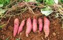 Khoai lang : cây lương thực toàn năng với sức khỏe
