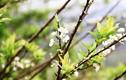Bài thuốc hay chữa bệnh từ hoa mận ngày xuân
