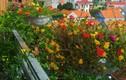 Mê mẩn ban công nhà phủ kín hoa mười giờ tuyệt đẹp