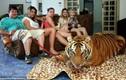 Rợn người nuôi hổ như thú cưng trong nhà