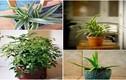 6 cây cảnh hút khí độc cực tốt nên trồng trong nhà