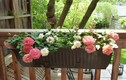 Cách trồng hoa hồng bằng khay nhựa