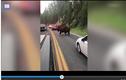 Video: Cái kết của người đàn ông thách thức bò rừng khổng lồ ở Mỹ