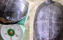 """Phát hiện rùa lạ có khắc chữ """"quý tỵ"""" trên mai"""