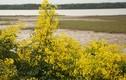 Đẹp mê hồn hoa giêng giếng rực vàng triền đê Hà Tĩnh