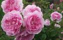 Tuyệt chiêu trồng hoa hồng ngoại nở rực rỡ trên chậu