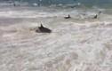 Hàng trăm con cá mập đổ xô lên bờ biển nước Mỹ