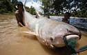 """Sốc trước """"thủy quái"""" khổng lồ, nặng 600 kg trên sông Cửu Long"""