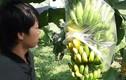 """Video: Cả ngàn buồng chuối non chín nứt sau 1 đêm, chủ vườn HN """"khóc ngất"""""""