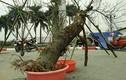 Đào rừng Sơn La bị đào gốc rễ đem xuống Hà Nội bán Tết tiền khủng