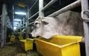 Nhập hơn 1.700 con bò Úc về miền Tây bằng tàu biển
