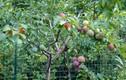 Cây thần kỳ cho ra 40 loại quả khác nhau