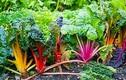 Bỏ túi cách trồng cải cầu vồng xanh non mơn mởn
