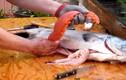 Cận cảnh thu hoạch trứng cá hồi siêu đắt ở Nhật Bản
