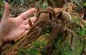 """Khóc ngất vì nhìn thấy """"quái vật"""" nhện đang xơi tái rắn độc Cobra"""