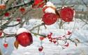 """""""Đột nhập"""" trang trại trồng táo mật đắt nhất thế giới, 1 cành chỉ có 1 quả"""
