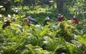 Kỳ lại ngôi làng đổi đời nhờ trồng cau chỉ để bán...lá