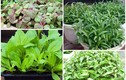 Đầu tháng 7, trồng rau gì xanh tốt vù vù?