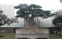 Ngắm cây sanh thế lạ, đại gia có tiền tỷ cũng không mua được