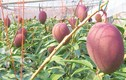 Người trồng hé lộ bí mật tạo ra quả xoài giá trăm triệu đồng