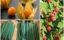 3 loại quả dại mọc bờ rào nay lên kệ bán cả trăm nghìn/kg