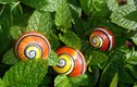 Cận cảnh loài ốc sên đẹp nhất quả đất bị săn lùng ráo riết