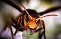 Ong bắp cày Châu Á xâm chiếm, đe doạ tính mạng người dân Mỹ?