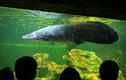 Hoang mang quái vật sông Amazon bỗng dưng chết kỳ lạ ở Mỹ