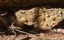 Video: Khỉ láu cá cướp chuột từ miệng rắn ngoạn mục