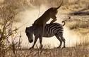 Video: Sư tử lao nhanh như chớp tấn công ngựa vằn