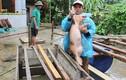 Video: Người Hà Tĩnh ôm lợn chạy lũ