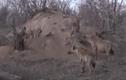 Video: Chúa sơn lâm phục kích linh cẩu, trấn lột mồi