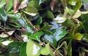 Loại rau mọc hoang giá 100 nghìn/kg được bà nội trợ săn lùng