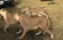 Video: 4 sư tử cái hùa nhau đánh đuổi sư tử đực