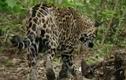 Video: Báo đốm suýt giẫm phải tử thần rừng rậm Amazon
