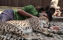 Video: Nhân viên sở thú đàn ông ôm báo săn ngủ ngon lành