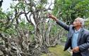 Chiêm ngưỡng cây khế cảnh 300 tuổi có dáng thế lạ
