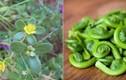 """5 loại """"rau trường thọ"""" có đầy ở Việt Nam mà ai cũng tưởng cỏ"""