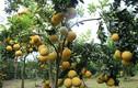 Gái đảm thu tiền tỷ nhờ trồng thập cẩm các cây ra quả bán Tết