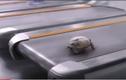 """Video: """"Chết cười"""" xem cảnh rùa con chạy nước rút"""