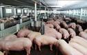 Giữa cơn bão giá, thịt lợn giảm giá khiến người dân càng sốc