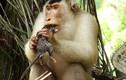Rợn người cảnh khỉ đuôi lợn săn giết các loài gặm nhấm